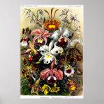 Orchideae (Orchideen) Plakat