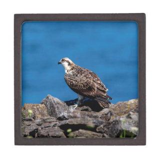Osprey auf den Felsen Kiste