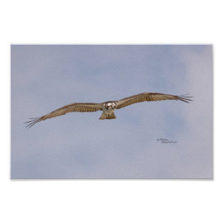 Osprey-Vogel-Fliegen-Plakat Poster
