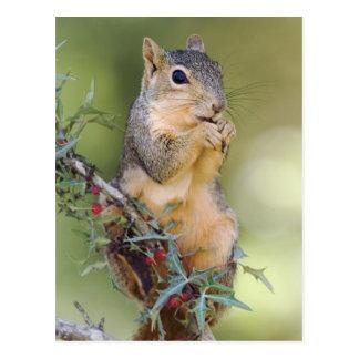Ostfox-Eichhörnchen, Sciurus Niger, Erwachsener Postkarte