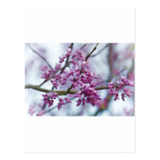 OstRedbud Wildblumen - Cercis canadensis Postkarte