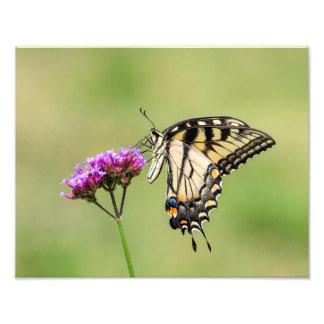 Osttiger-Frack-Schmetterling Fotodruck