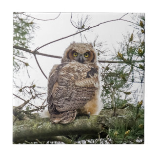 Owlet auf einer Kiefern-Niederlassung Fliese