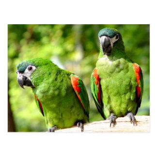 Paar Grün plappert Postkarte nach