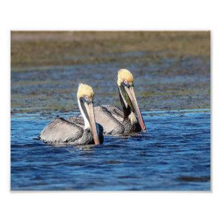 Paare 10x8 Pelikane Fotodruck