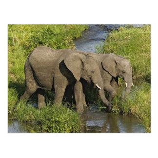 Paare der afrikanischen fütternden Elefanten, Postkarte