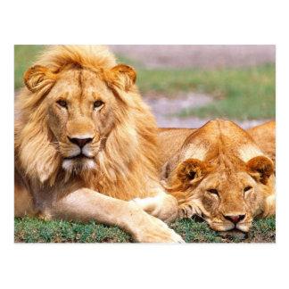 Paare der afrikanischen Löwen, Panthera Löwe, Postkarte