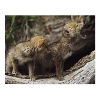 Paare der jungen heulenden Kojote-Welpen Postkarte
