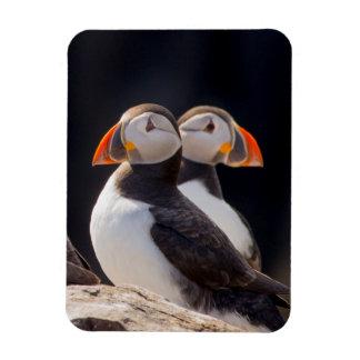 Paare Papageientaucher Magnet