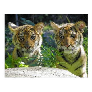 Paare von Tiger-CUB-Porträt Postkarte