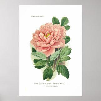 Paeonia moutan (Pfingstrose) Poster