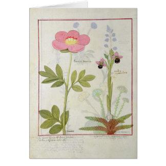 Paeonia oder Pfingstrose und Orchis myanthos Karte