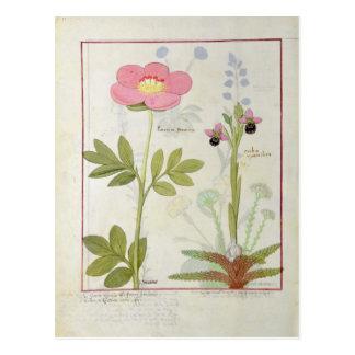 Paeonia oder Pfingstrose und Orchis myanthos Postkarte