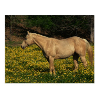 Palomino in den gelben Blumen Postkarte