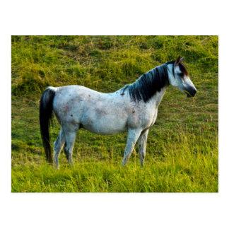 Palouse Pferd, Colfax, Palouse Bereich, Washington Postkarte