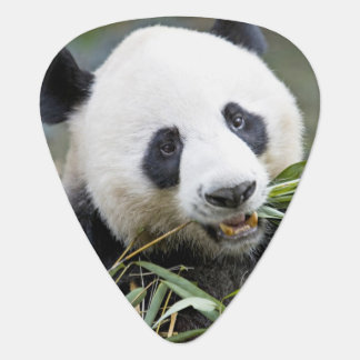 Panda, der Bambusschosse Alluropoda 2 isst Plektrum