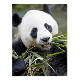 Panda, der Bambusschosse Alluropoda 2 isst Postkarte
