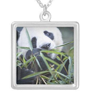 Panda, der Bambusschosse Alluropoda isst Versilberte Kette