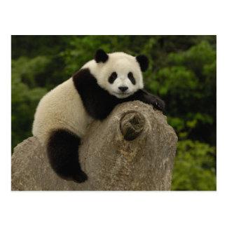 Pandababy Ailuropoda melanoleuca) 11 Postkarte