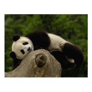 Pandababy Ailuropoda melanoleuca) 13 Postkarte