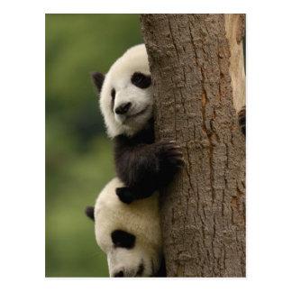 Pandababys Ailuropoda melanoleuca) 2 Postkarten