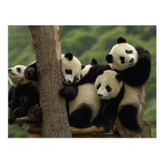 Pandababys Ailuropoda melanoleuca) 4 Postkarte