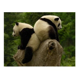 Pandababys (Ailuropoda melanoleuca) 4 Postkarte