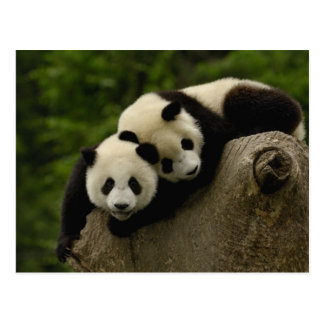 Pandababys Ailuropoda melanoleuca) 6 Postkarte