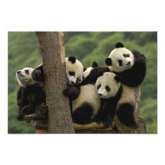 Pandababys Ailuropoda melanoleuca) 8 Kunst Photo