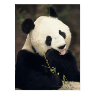 Pandabär, (Nahaufnahme) Postkarte