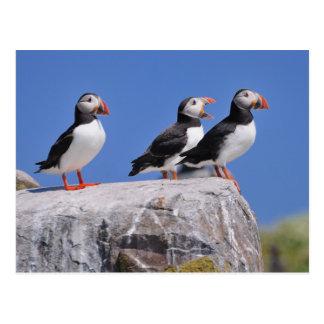 Papageientaucher auf der Farne Inselpostkarte Postkarte