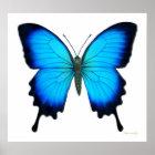 Papilio Ulysses Schmetterlings-Plakat Poster