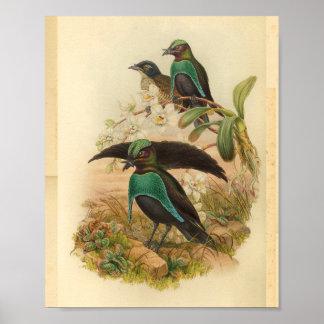 Paradiesvögel grün-blauen Vintagen Druck Poster