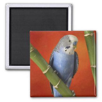 Parakeet Kühlschrankmagnet