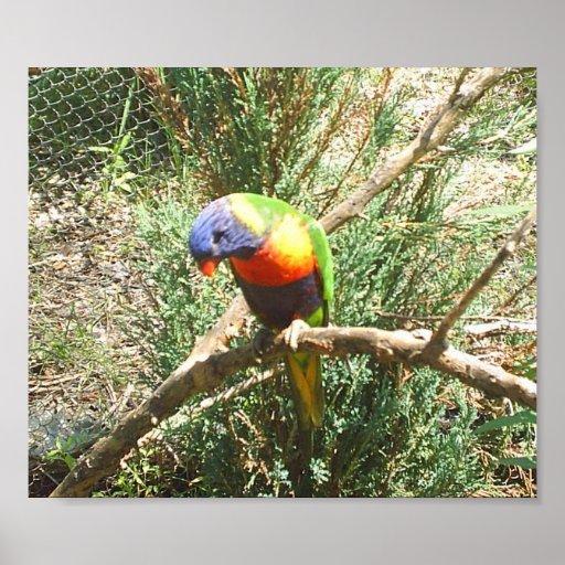 Parakeet Posterdrucke