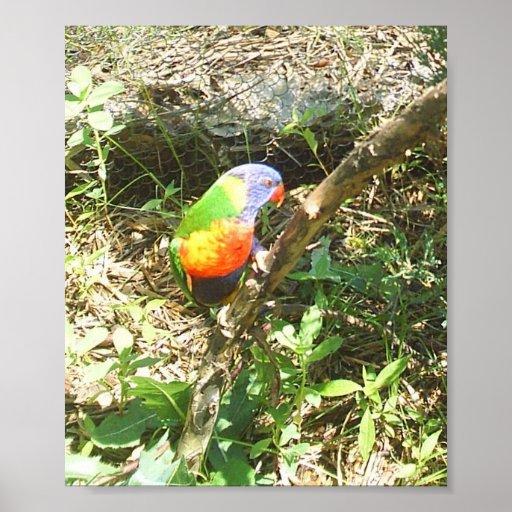 Parakeet Plakate
