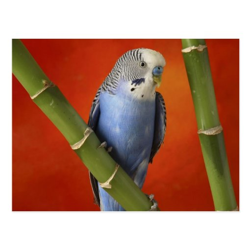 Parakeet Postkarte