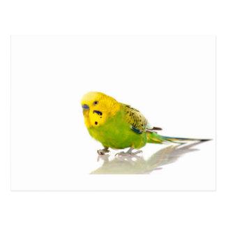 parakeet, postkarte