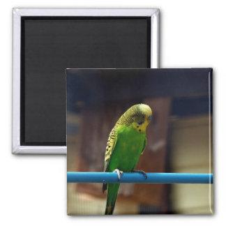 Parakeet Quadratischer Magnet