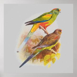 Parakeets Plakatdruck