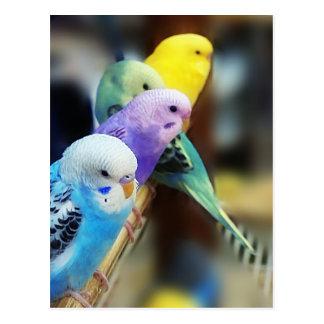 Parakeets-Postkarte Postkarten
