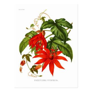 Passionsblume vitifolia postkarte