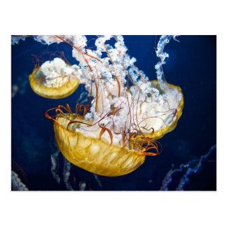 Pazifische Seenessel (Chrysaora fuscescens) Postkarte