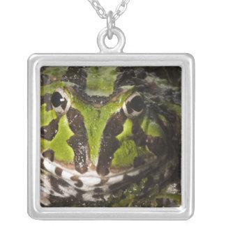 Pazifisches gehörntes Frosch Ceratophrys Versilberte Kette