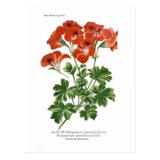 Pelargonie grandiflorum postkarte