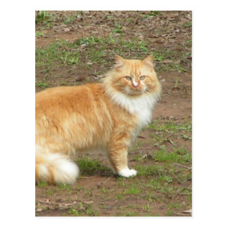 Pelzartige orange und weiße Katze Postkarte