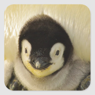 Penguin-Baby-antarktisches Lebens-Tierkaiser Quadratischer Aufkleber