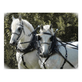 Percheron Team Postkarte