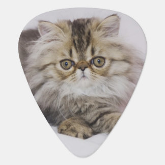 Persische Katze, Felis catus, BrownTabby, Plektrum