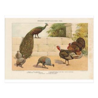 Pfau, die Türkei u. Guinea-Geflügel Postkarte